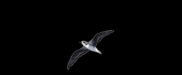 Madeira Stormvogel