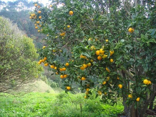 One of the many orange trees of Madeira
